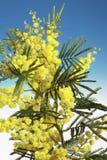 De bloemen van mimosa's Royalty-vrije Stock Foto's