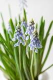De bloemen van Muscari Royalty-vrije Stock Afbeelding