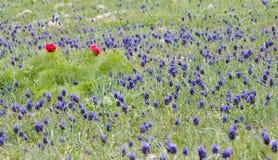 De bloemen van Muscari Stock Afbeeldingen