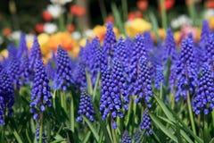 De bloemen van Muscari botryoides in close-up Royalty-vrije Stock Afbeeldingen