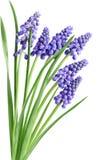De Bloemen van Muscari van de hyacint stock foto's