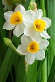 De bloemen van narcissen Royalty-vrije Stock Afbeeldingen