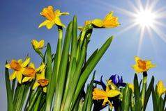 De bloemen van narcissen Stock Foto's