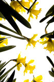 De bloemen van narcissen Royalty-vrije Stock Fotografie
