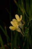 De bloemen van Neofinetiafalcata Stock Foto's