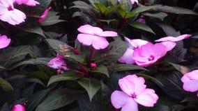 De bloemen van Nieuw-Guinea impatiens stock footage