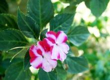 De bloemen van Nieuw-Guinea impatiens royalty-vrije stock fotografie