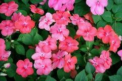 De bloemen van Nieuw-Guinea impatiens stock afbeeldingen