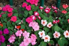 De bloemen van Nieuw-Guinea impatiens stock foto's