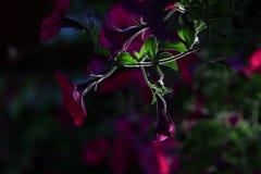 De bloemen van de ochtendglorie onder backlight stock foto