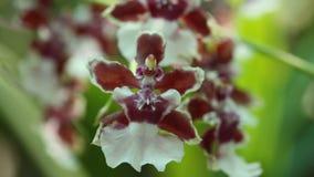 De bloemen van orchideeën van bruine kleur sluiten omhoog, het Bloeien van orchidee stock footage