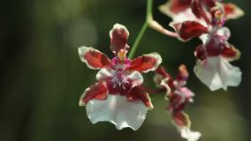 De bloemen van orchideeën van bruine kleur sluiten omhoog, het Bloeien van orchidee stock videobeelden