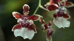 De bloemen van orchideeën van bruine kleur sluiten omhoog, het Bloeien van orchidee stock video