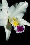 De bloemen van orchideeën (Cattleya SP) Stock Fotografie