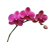 De bloemen van orchideeën Stock Afbeelding