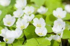 De bloemen van Oxalis royalty-vrije stock afbeeldingen