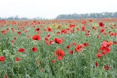De bloemen van de papaver op het gebied royalty-vrije stock foto