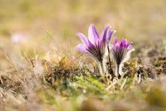 De Bloemen van Pasque Stock Foto's