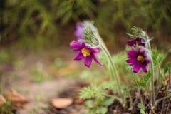 De Bloemen van Pasque Royalty-vrije Stock Fotografie