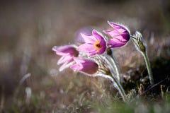 De Bloemen van Pasque royalty-vrije stock afbeelding