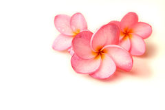 De bloemen van Plumeria