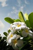 De Bloemen van Plumeria Royalty-vrije Stock Afbeelding