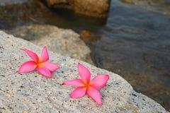 De bloemen van Plumeria Stock Foto's
