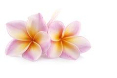 De bloemen van Plumeria Royalty-vrije Stock Foto's
