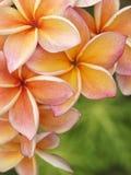 De bloemen van Plumeria Stock Afbeeldingen