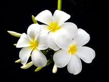 De bloemen van Plumeria, met zwarte achtergrond. Royalty-vrije Stock Foto