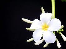 De bloemen van Plumeria, met zwarte achtergrond. Stock Foto's
