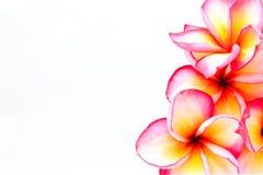 Geïsoleerdee de bloemen van Plumeria Stock Foto's