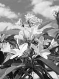 De Bloemen van Plumeriafrangipani in Bloei stock afbeeldingen