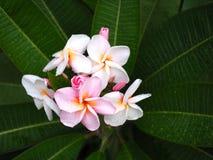 De bloemen van Plumeriafrangipani doorboren en wit met groen blad en daling van water Stock Foto