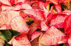 De bloemen van poinsettia met heldere bracteeën royalty-vrije stock afbeeldingen