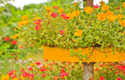 De Bloemen van Portulaca Stock Foto