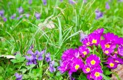 De bloemen van primula's Stock Foto's