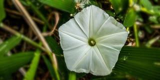 De bloemen van de rinocerosboerenkool stock fotografie