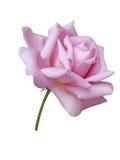 De bloemen van rozen Royalty-vrije Stock Foto