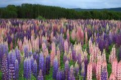 De bloemen van Russell Lupin Royalty-vrije Stock Fotografie