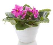 De bloemen van Saintpaulia Royalty-vrije Stock Fotografie