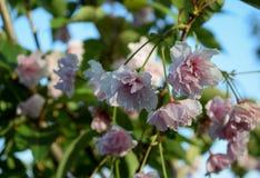 De bloemen van Sakura Royalty-vrije Stock Afbeeldingen