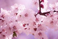 De bloemen van Sakura in de ochtend Stock Foto