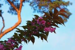 De bloemen van Sakura het bloeien Mooie roze kersenbloesem Royalty-vrije Stock Foto's