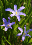 De bloemen van Scilla Stock Afbeeldingen