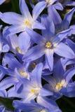De bloemen van Scilla Stock Foto's