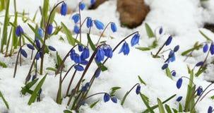 De bloemen van Scilla stock video