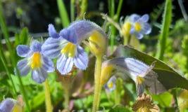 De bloemen van Sedum Royalty-vrije Stock Foto's