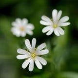 De bloemen van Stellariaholostea Stock Afbeeldingen