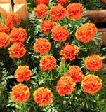 De bloemen van Tagetes Stock Foto